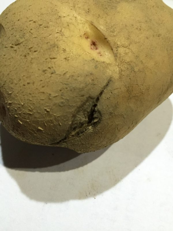 訳ありジャガイモ②